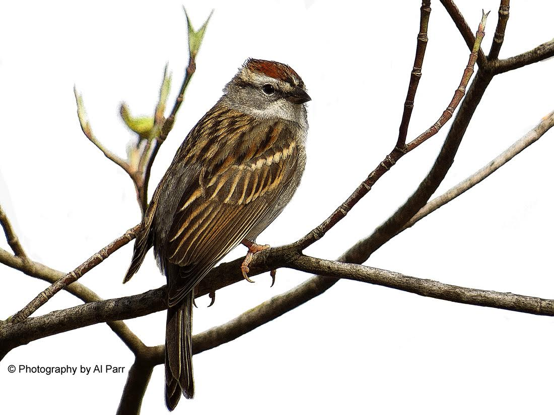 Chipping sparrow cutout