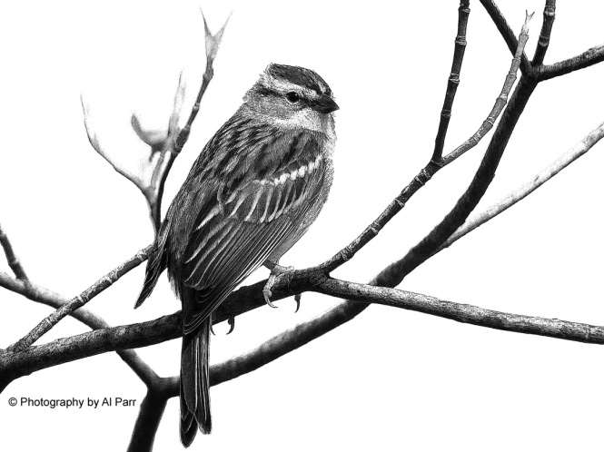 chippingsparrowC4BW
